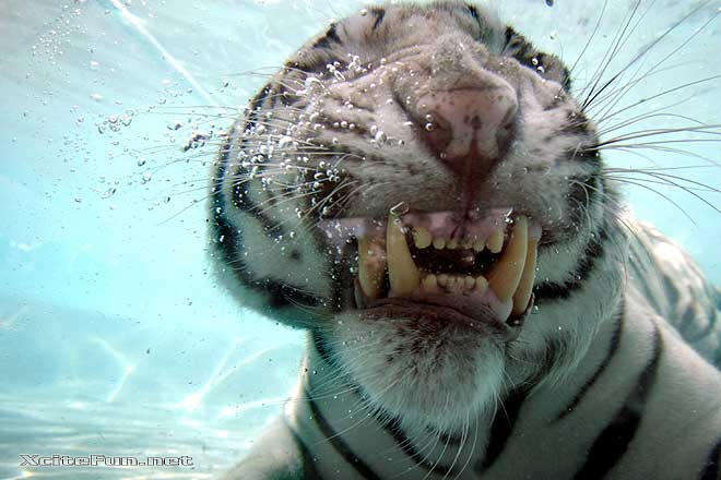 White tigers in water - photo#22