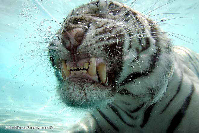 White tigers in water - photo#27
