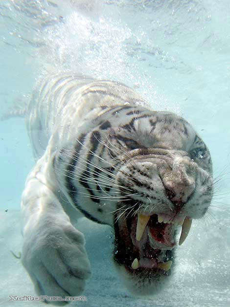 White tigers in water - photo#2