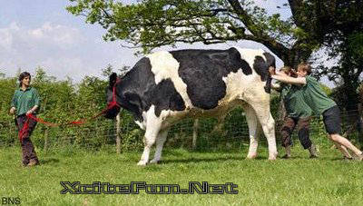 Biggest Cow of The World Weighing 125 Tons