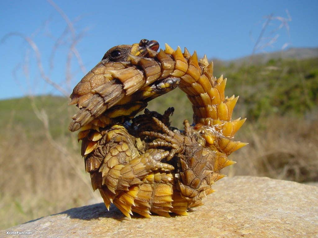 Armadillo lizard wallpaper - photo#11