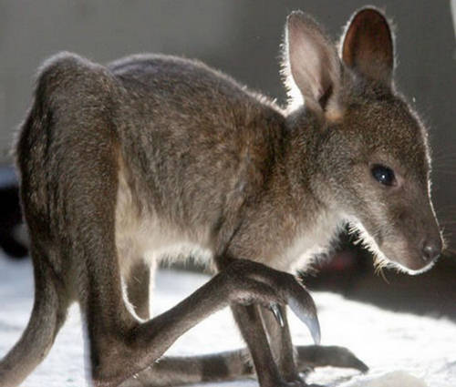 Joey A Baby Kangaroo Hopping Animal Xcitefun Net