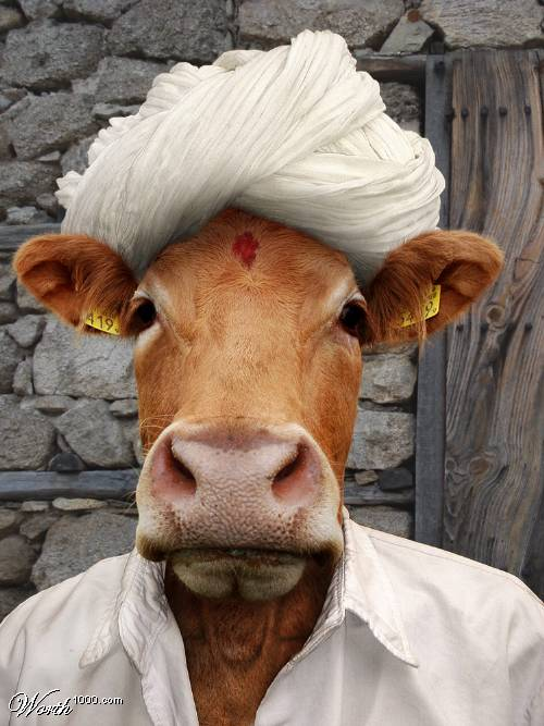 Funny Pictures Of Cows || If Cows live like P...