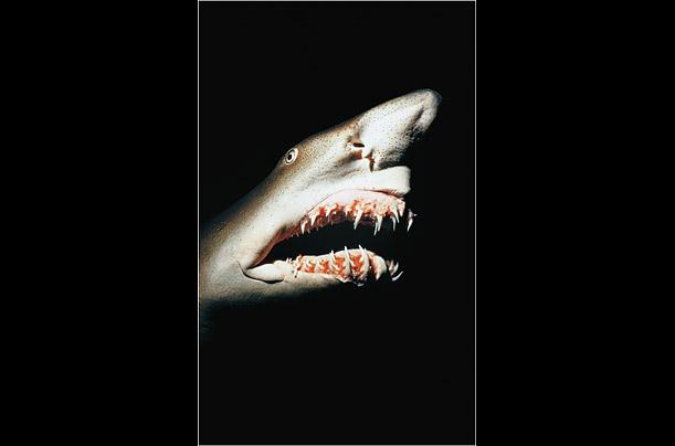 feeding habits of the grey nurse sharks and cone snails essay