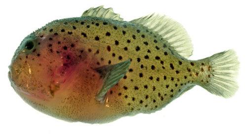 Deadliest Venomous Fish