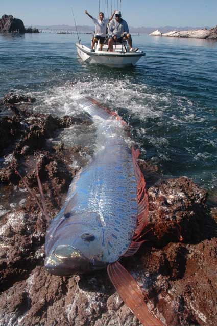 Worlds Longest Fish The Oarfish