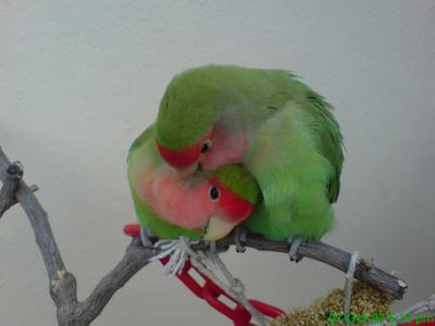 A LOVELY collection of LOVE BIRDS
