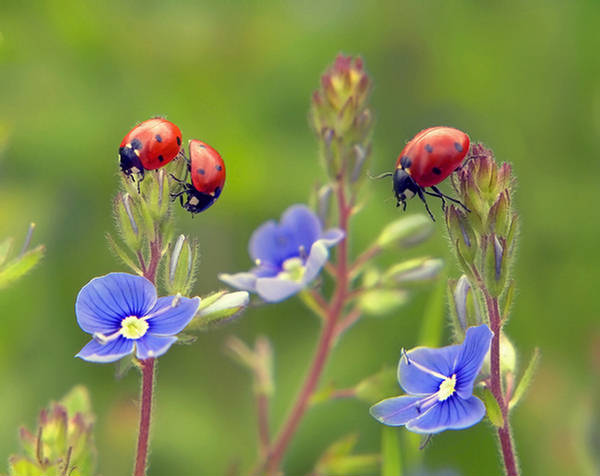 Beautiful Ladybugs - XciteFun.net