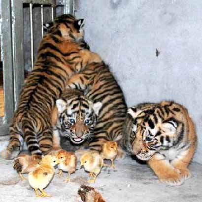 Image Result For Baby Tigers Cubsa