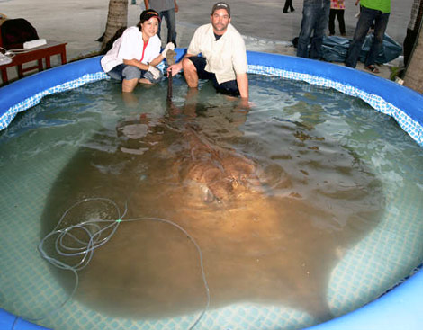 103819,xcitefun giant stingray kids lg Worlds Largest Sting ray  Fish!!! gallery