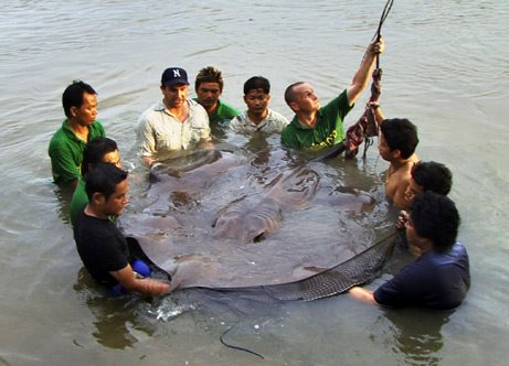 103820,xcitefun 1 stingray 461 Worlds Largest Sting ray Fish!!!  gallery