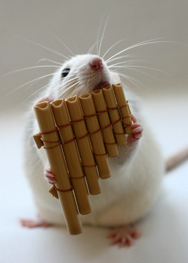 http://img.xcitefun.net/users/2009/08/108522,xcitefun-cute-rat-7.jpg
