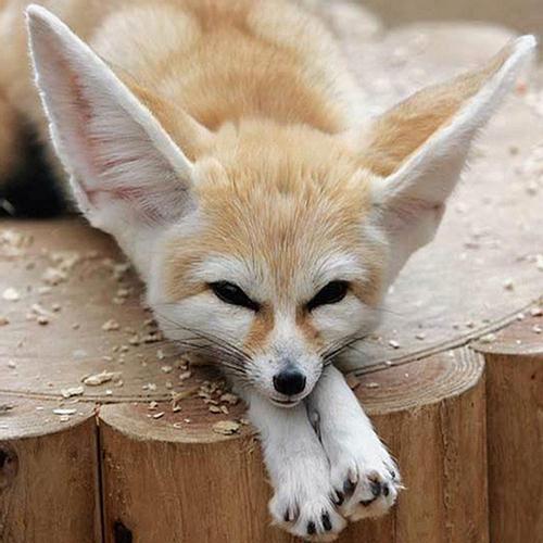 Cutest Fennec Foxes in the World - XciteFun.net | 500 x 500 jpeg 50kB