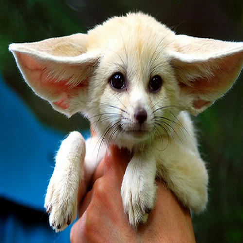 Fox Auto Group >> Cutest Fennec Foxes in the World - XciteFun.net