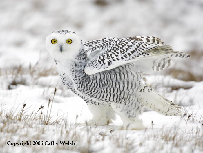 pictures of snowy owl free snowy owl pictures strivia