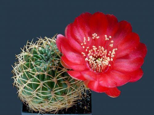 Kaktusi - Page 5 126964,xcitefun-24