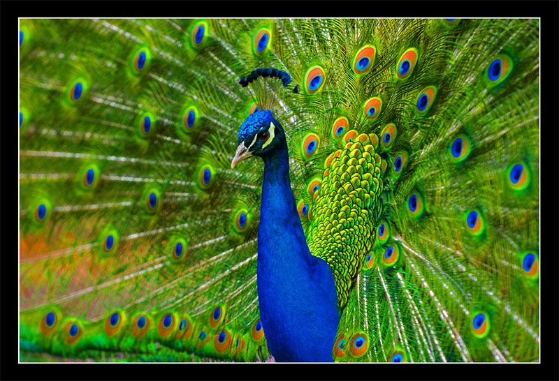 Worlds Most Beautiful BirdPeacock