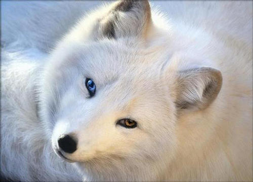 Court of the Zorro 136106,xcitefun-arctic-fox-1