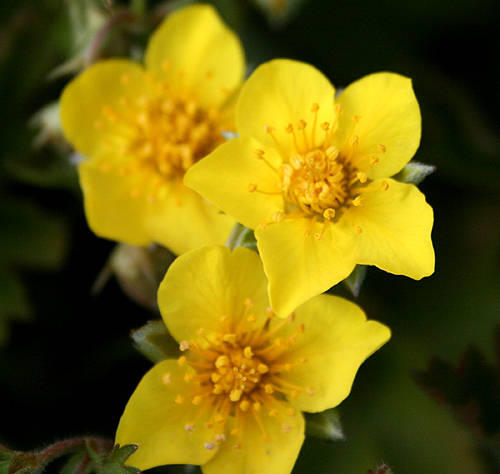Yellow is the symbol of friendship so ll u be my friend - Flowers that mean friendship ...