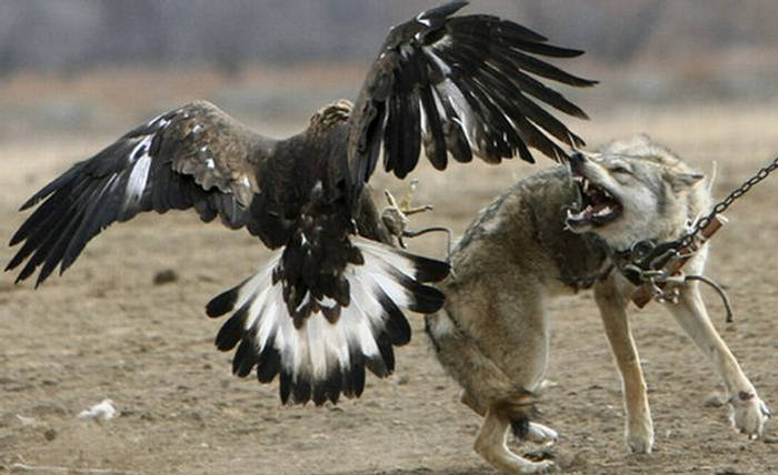 eagle attack - photo #35