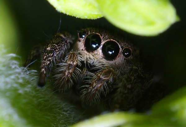 Cute jumping spider - photo#3