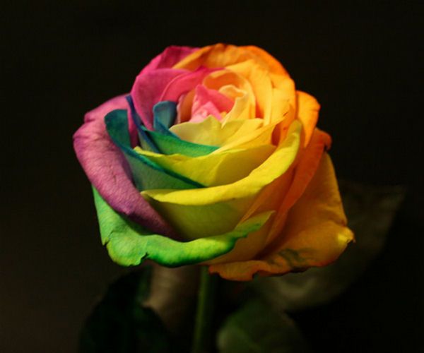 Rainbow roses cool flower modification for Where to find rainbow roses