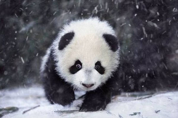 Panda Family  Enjoying The 1st Snow