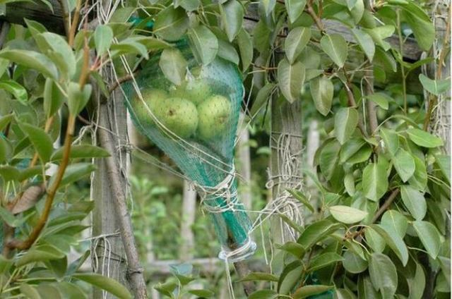 Grow your pears in liquor bottles