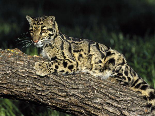 Most Beautiful Big Cats - XciteFun.net - photo#42