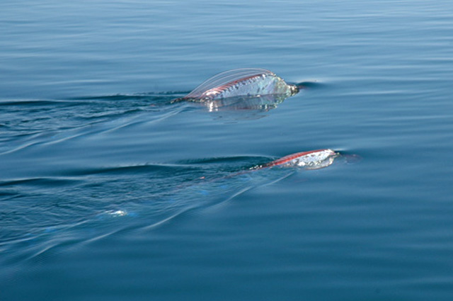 The Legendary Oarfish - XciteFun.net