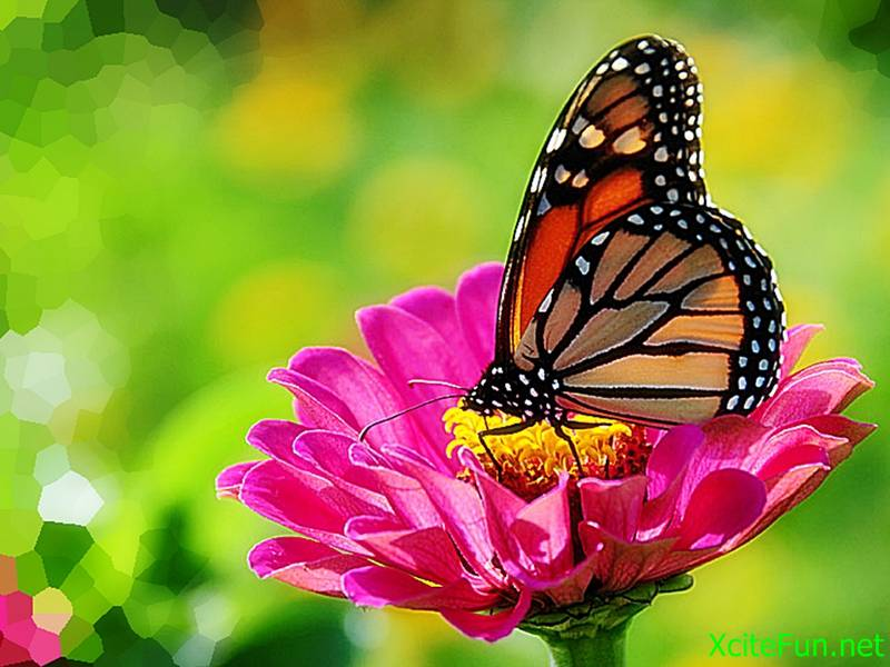 182494xcitefun monarch butterfly on zinnia - Butterfly pics