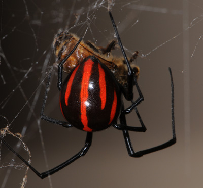 Deadliest spider in the world - photo#11