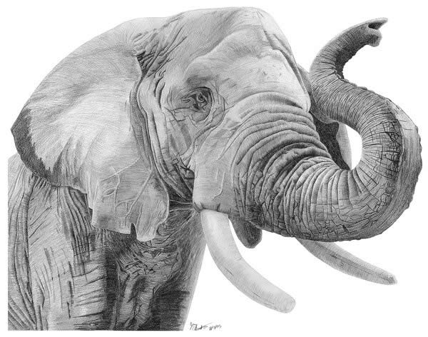 Realistic Animal Drawings - XciteFun.net Realistic Elephant Drawing