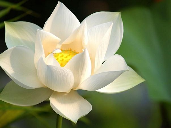 http://img.xcitefun.net/users/2010/06/189788,xcitefun-white-lotus-5.jpg