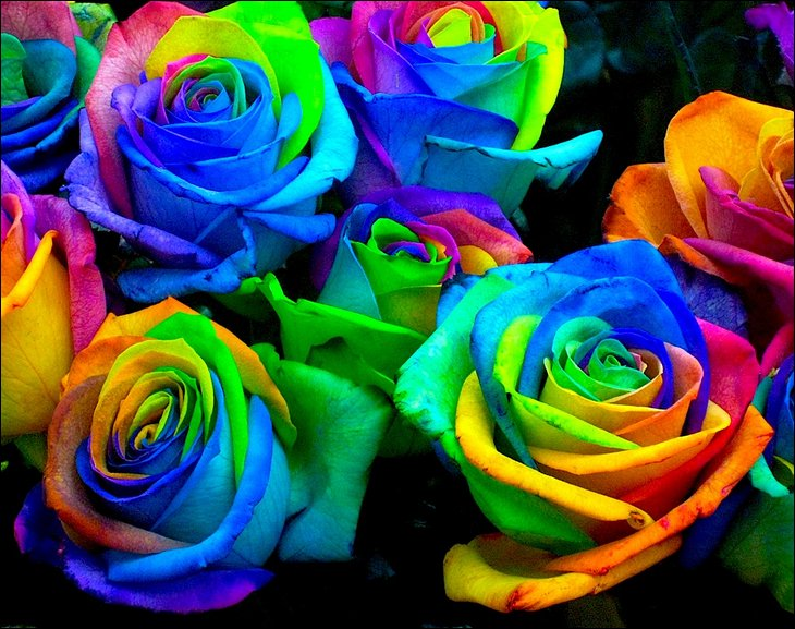 rainbow roses all colors in one rose