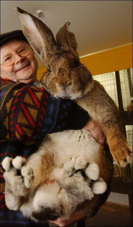 World's Biggest Rabbit Herman