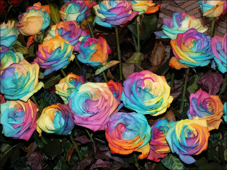 Rainbow roses all colors in one rose for How to color roses rainbow