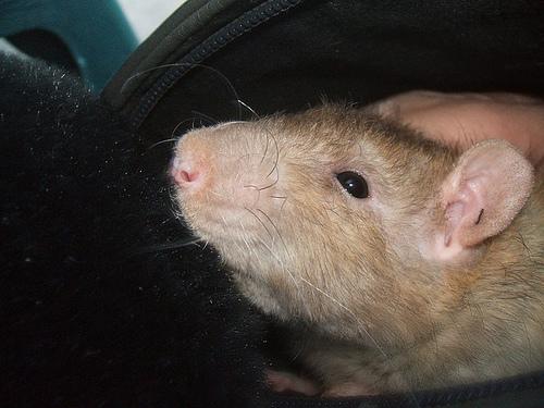 Cool Rats pic