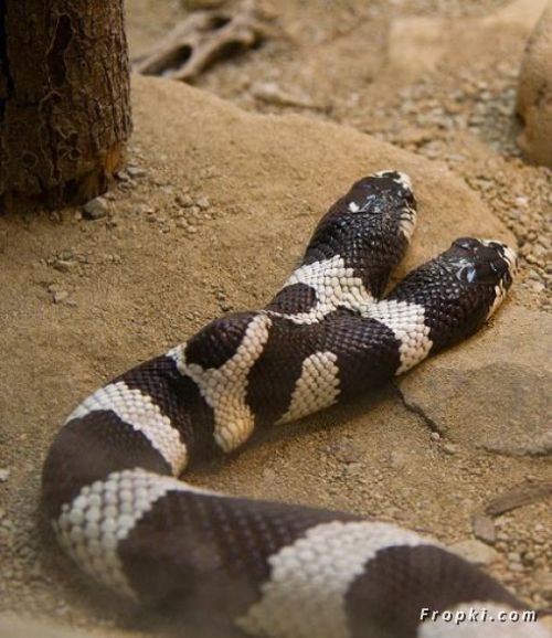 Two Headed Snake - XciteFun.net