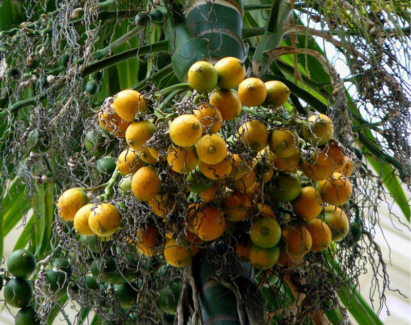 how to stop fruit tree from branching