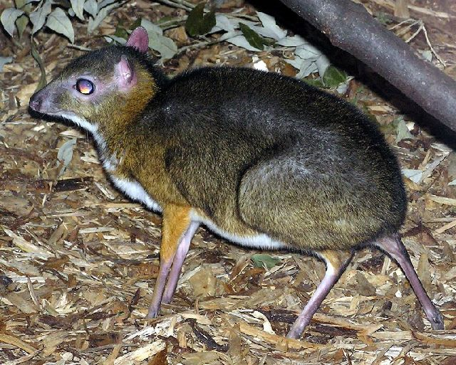 Mouse Deer: Unusual Cute Animal - XciteFun.net