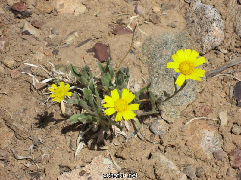 224065,xcitefun-desert-flower-9.jpg