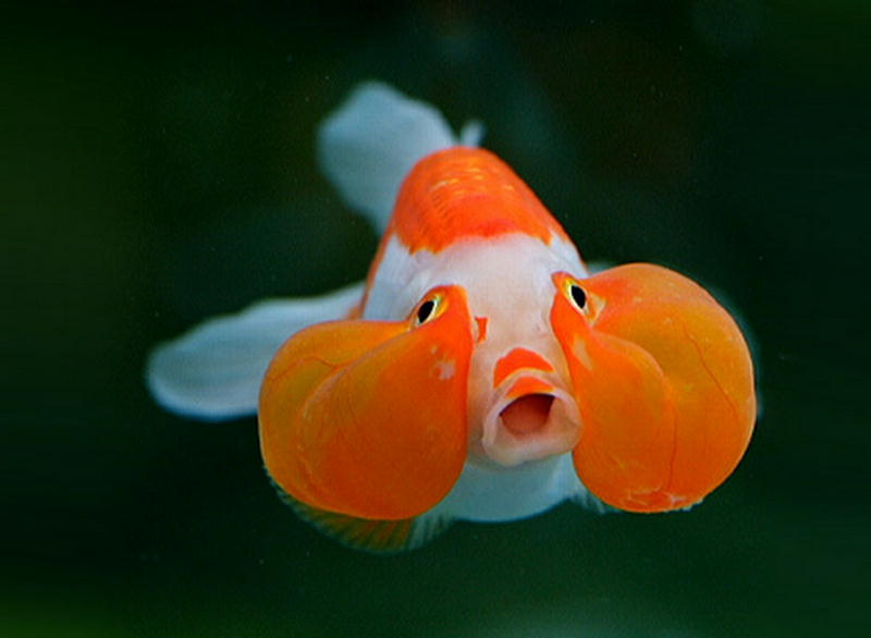 goldfish playing in filter bubbles