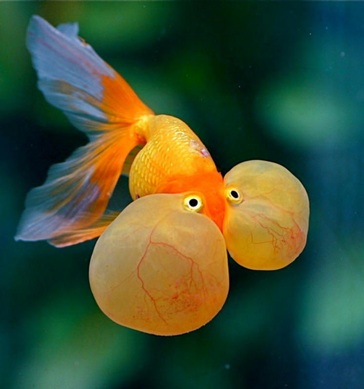 bubble eye goldfish in the aquarium
