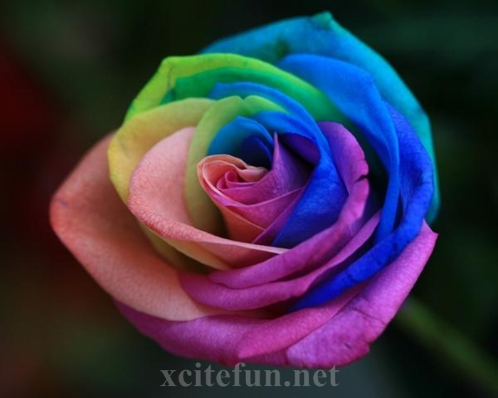 rainbow rose growing naturally