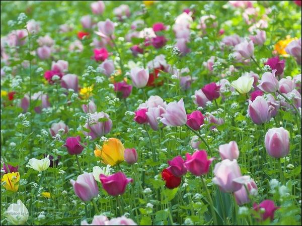 http://img.xcitefun.net/users/2011/03/235849,xcitefun-tulips-2.jpg