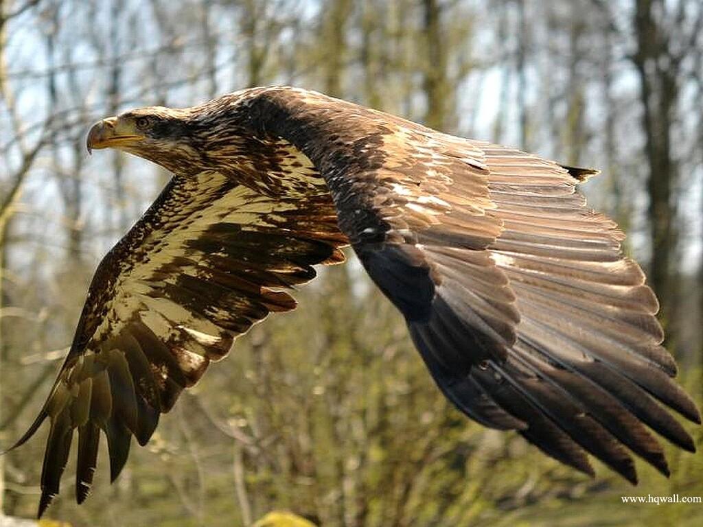 Bird Of Prey Eagle Xcitefun Net