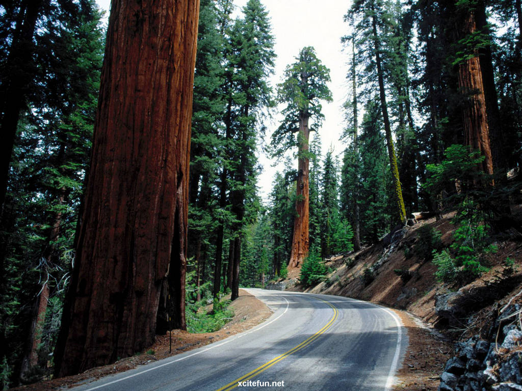 Sequoia Christmas Tree