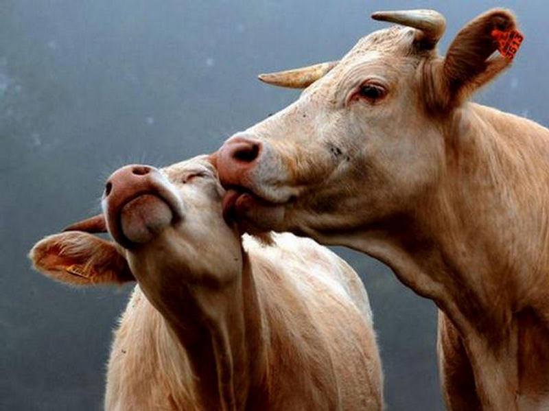 quaker oats...I love this! | Cute drawings, Cartoon art |Cute Animated Cows In Love