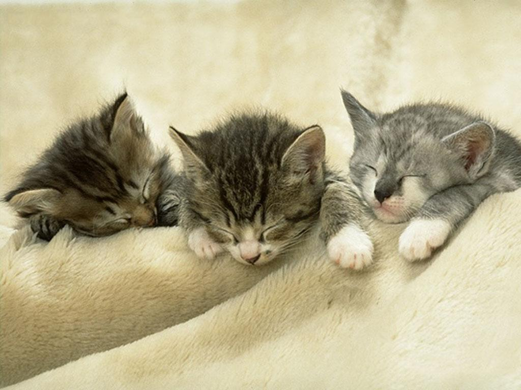 pictures of cat lice
